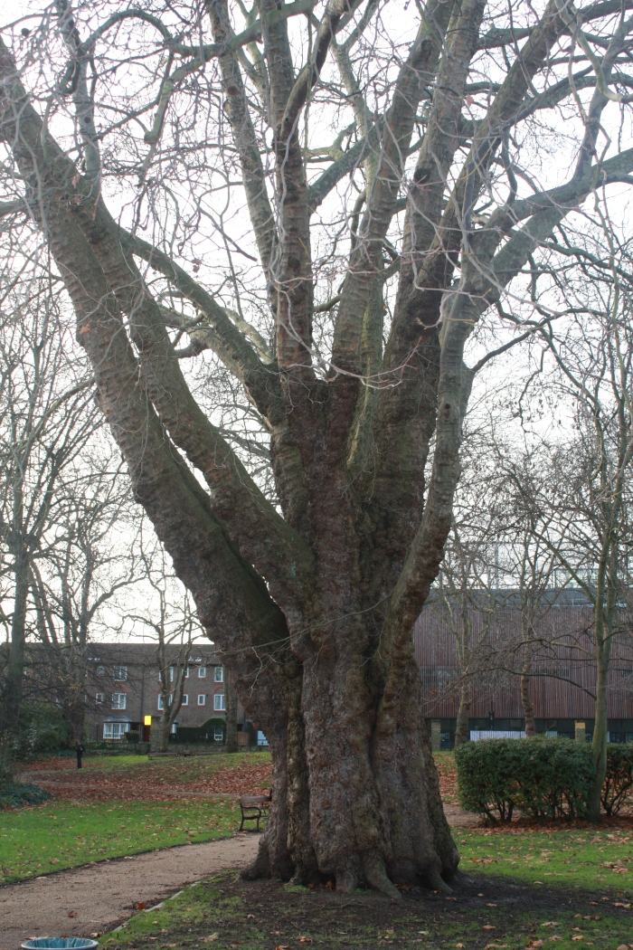 Old London Plane Tree, St Mary Magdalene Gardens, Islington